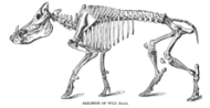 Wild-Boar Skeleton