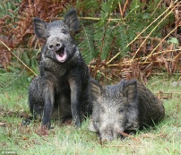 Wild-Boar Laugh